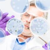 Älterer Biowissenschaftsforscher, der Bakterien verpflanzt. Lizenzfreie Stockfotos