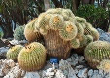 Am ältesten und eindeutig in Europa Echinocactus grusonii Lizenzfreies Stockfoto