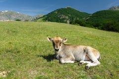 Lttle calf in farmland stock photos