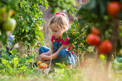 Lttle girl collecting crop tomatoes in garden royalty free stock photography