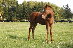 Lttle purebred filly grazing on pastture Stock Photography