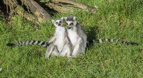 Ltwo-emur catta Affe mit dem langen Schwanz Lizenzfreie Stockfotografie