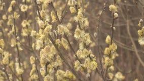 Luźni pączki wierzbowa roślina na krzaku, natura, wiosna, w górę zbiory wideo