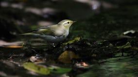 Luì verde vicino al piccolo corso d'acqua in foresta scura Fotografia Stock Libera da Diritti