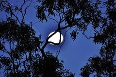Lua azul completa que sorri através das árvores Foto de Stock