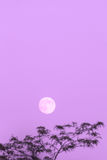 Lua cheia e árvore, espaço da cópia, céu violeta da noite Imagem de Stock