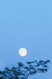 Lua cheia e árvore, espaço da cópia, hora azul, nivelando o céu Foto de Stock