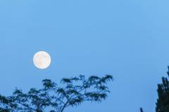 Lua cheia e árvore, espaço da cópia, hora azul, nivelando o céu Imagens de Stock