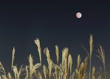 A Lua cheia e a grama de prata no outono, que é uma cena que faça o povo japonês sentir nostálgico fotos de stock