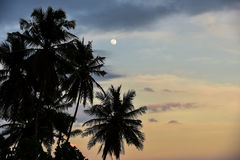 A Lua cheia mostra em silhueta palmeiras Fotografia de Stock