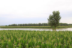 Maize and trees in the flood, Luannan, Hebei, China. Royalty Free Stock Photo