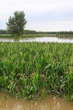Maize and trees in the flood, Luannan, Hebei, China. Royalty Free Stock Images