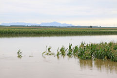 Corn in the flood waters, Luannan, Hebei, China. Luannan, August 4:Corn in the flood waters on August 4, 2012, Luannan, Hebei, China Royalty Free Stock Photo