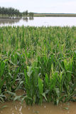 Corn in the flood waters, Luannan, Hebei, China. Luannan, August 4:Corn in the flood waters on August 4, 2012, Luannan, Hebei, China Stock Image