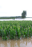 Maize and trees in the flood, Luannan, Hebei, China. Luannan, August 4:Maize and trees in the flood on August 4, 2012, Luannan, Hebei, China Stock Photos