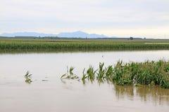 Maïs dans les eaux d'inondation, Luannan, Hebei, Chine. Photo libre de droits
