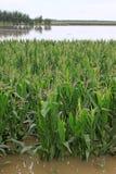 Maïs dans les eaux d'inondation, Luannan, Hebei, Chine. Image stock