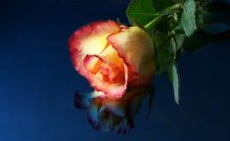 Luar Rosa Imagem de Stock