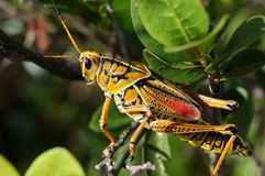 Lubber Grasshopper. On a plant in Everglades National Park Stock Photo