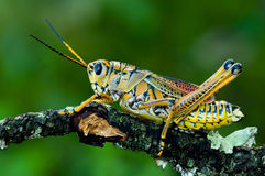A lubber grasshopper Royalty Free Stock Image