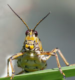 Lubber Grasshopper face up close Stock Photos