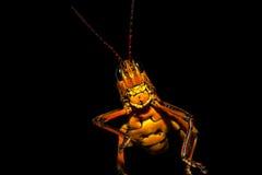 Lubber Grasshopper - Romalea Guttata Stock Images