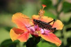 Lubbergräshoppa på hibiskusblomman royaltyfri fotografi
