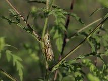 Luber gräshoppa Royaltyfri Bild