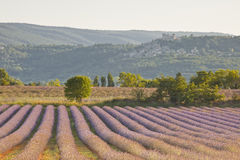 Luberon lavender and tree Stock Photos