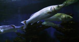 Lubina, labrax del dicentrarchus, natación del grupo, cámara lenta metrajes