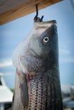 Lubina rayada de la pesca Imagenes de archivo