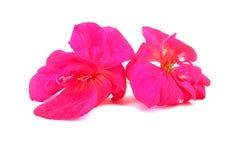 Lubrifichi la prospettiva del geranio di tiraggio, fiori delicati freschi della pittura e fotografie stock libere da diritti