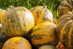 Lubrifichi le zucche della zucca del cucurbita di signora Godiva dal raccolto di autunno immagine stock libera da diritti