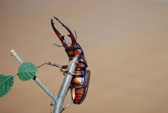 lucanidae Foto de Stock
