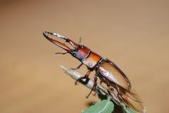 Lucanidae Royalty Free Stock Photos