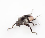 Lucanus Stock Photo