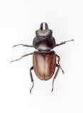 Lucanus Royalty Free Stock Photography