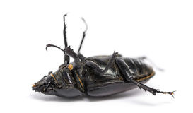 死的锹虫说谎在它的后面的, Lucanus鹿,被隔绝 免版税图库摄影