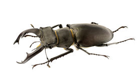 Lucanus cervus Royalty Free Stock Photography