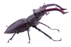 Lucanus cervus. Stock Photo
