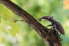 Lucanus cervus beetle stock images