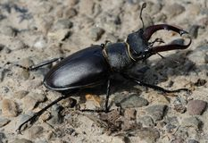 Lucanus cervus Stock Photo