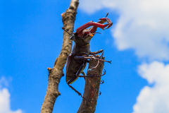 Lucanus cervus sitting on a branch against the blue sky. Lucanus cervus is the best-known species of stag beetle; family Lucanidae Royalty Free Stock Images
