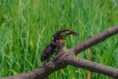 Lucanus cervus sitting on a branch Royalty Free Stock Images