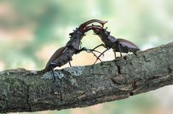 Lucanus cervus (Stag beetle). Two males Lucanus cervus (Stag beetle) fighting on the branch Royalty Free Stock Photo
