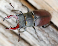 Lucanus cervus - stag beetle Stock Photos