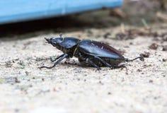 Lucanus cervus, stag beetle female walking in garden Stock Photos