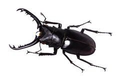 Lucanus cervus stag beetle isolated on white.  stock photography