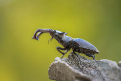 Lucanus cervus stag beetle Lucanidae Stock Photo