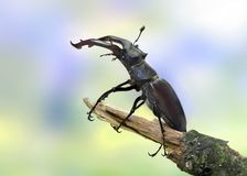 Lucanus cervus (Stag beetle) (male) Royalty Free Stock Image